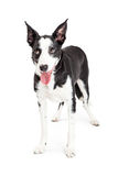 Funny Crossbreed Dog Rolling Eyes Up Royalty Free Stock Photography