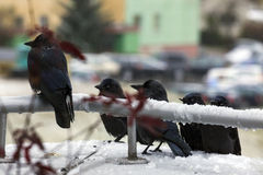 Funny crows Stock Image