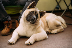 Funny Curious Cute American Akita Dog Royalty Free Stock Photography