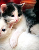 Funny curious little kitten Royalty Free Stock Images