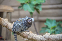 Funny curious little monkey Royalty Free Stock Photo