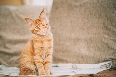 Funny Curious Young Red Ginger Maine Coon Kitten Cat Sitting At Home Sofa. Coon Cat, Maine Cat, Maine Shag Royalty Free Stock Photos