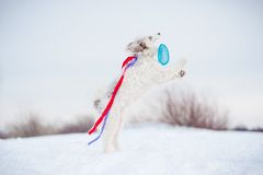 Funny curly dog jumping to catch the toy Royalty Free Stock Photo