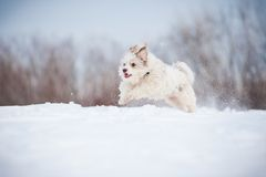 Funny curly dog running Royalty Free Stock Images