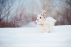 Funny curly dog playing Royalty Free Stock Images