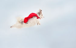 Funny curly super dog flying