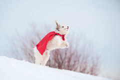 Funny curly super dog flying. Funny curly super hero dog wearing the red cloak jumping in the sky royalty free stock photos