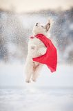Funny curly super dog flying Stock Images