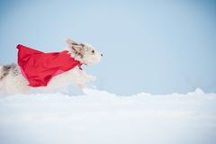 Funny curly super dog running Royalty Free Stock Images