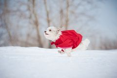 Funny curly super dog running Stock Images