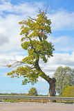 Funny and curved oak tree Stock Image