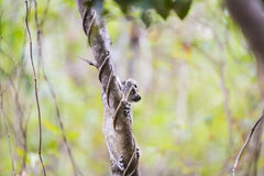 Funny cute baby lemur on a tree branch. Curious funny cute little baby lemur climbing on a tree branch on a green landscape Stock Photos
