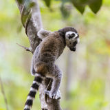 Funny cute baby lemur on a tree branch. Curious funny cute little baby lemur climbing on a tree branch on a green landscape Stock Photography