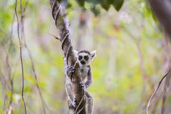 Funny cute baby lemur on a tree branch. Curious funny cute little baby lemur climbing on a tree branch on a green landscape Royalty Free Stock Photos