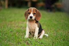 Funny cute beagle dog in park. Beagle dog on a natural green background Stock Image