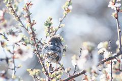 Funny cute bird Sparrow sitting in the spring garden on a branch of cherry blossoms Sunny warm may morning. Little funny cute bird Sparrow sitting in the spring royalty free stock image