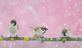 Funny cute birds sparrows sitting on the branch during a snowfal Stock Photos