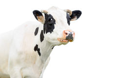 Funny cute black and white cow isolated on white. Cow muzzle close up. Farm animals. Young cow close looking at the camera stock images