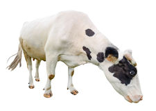 Funny cute  black and white cow isolated on white. Full length cow olmost white eating. Farm animals. Cow, standing full-length. In front of white background Stock Photos