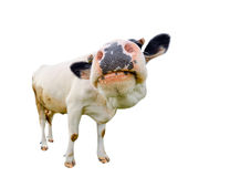 Funny cute black and white cow isolated on white full length. Farm animals.Almost white cow with big snout. Standing full-length in front of white background stock image