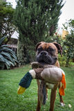 A funny cute boxer dog in the garden holding a toy duck Stock Images