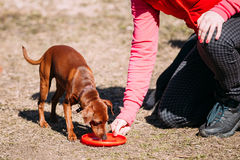 Funny Cute Brown Miniature Pinscher Pincher on Frisbee Training Royalty Free Stock Images