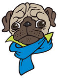 Funny cute cartoon pug in scarf Royalty Free Stock Photo
