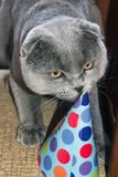Funny cute cat in a paper hat. Birthday pet. Scottish Fold Cat royalty free stock image
