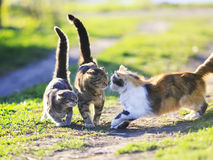 Funny cute cats playing in the green grass attacking each other Royalty Free Stock Photo