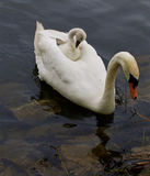 Funny cute chick is sitting on the back of her mother-swan Royalty Free Stock Images