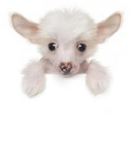 Funny cute Chinese crested puppy above white banner Stock Photography