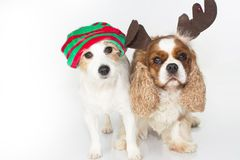 FUNNY AND CUTE CUOUPLE OF DOGS WEARING A RED AND GREEN CHRISTMA stock photography