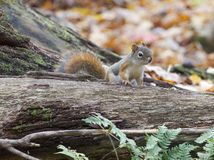 Funny cute curious small squirrel is looking at you Royalty Free Stock Photo