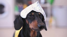 Funny cute dachshund dog in a foil hat and in a yellow T-shirt looking at camera, barking and leaving the frame at home, close-up
