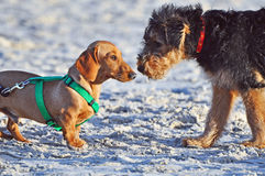 Funny cute Dachshund dog meets Airedale pup. An adorable one in a million shot of an purebred Airedale puppy meeting a full grown pedigree breed of Dachshund dog stock photos