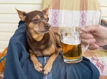 Funny cute dog with a beer, which offers its owner. Humor.  royalty free stock images