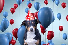 Funny cute dog celebrating his birthday party, Appenzeller Sennenhund royalty free stock images