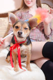 Funny cute dog with red ribbon sitting with sexy woman in bed blinking eye closeup image Stock Photo