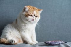 Funny cute Exotic shorthair cat on sofa. Portrait of cute Exotic shorthair cat with fake artificial mouse or rat on gray sofa bed with copy space for text. Funny stock images