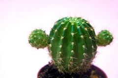 Funny and cute green cactus on a gently pink background close-up royalty free stock image