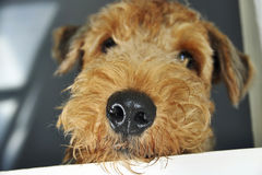 Close up macro wet nose pet dog looking out window. A funny and cute image of a close up view of an Airedale Terrier dogs wet nose as she looks out the window Stock Photography