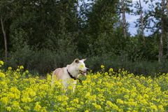 Funny cute Japanese akita inu dog with his tongue sticking out in summer among the yellow wild flowers in the field. Funny cute Japanese akita inu dog with his stock photos