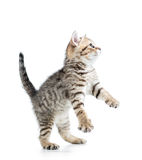 Funny cute kitten Royalty Free Stock Photography
