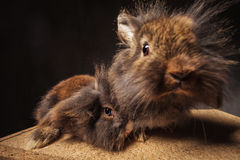 Funny and cute lion head bunny rabbits couple stock photo