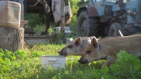 Funny cute little piglets at an animal farm. Little piglets household. Lovely pets. stock video footage