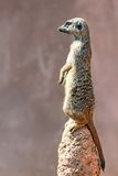 Funny and cute Meerkat or Suricate Stock Image