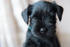 Miniature Schnauzer puppy Stock Images