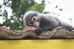 Free Funny Cute Monkeys Spectacled Langur Trachypithecus Obscurus In The National Park Royalty Free Stock Images - 137660159