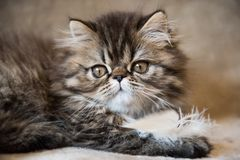 Beautiful Persian kitten cat marble color coat is playing with white feather royalty free stock image