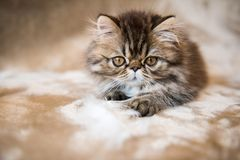 Beautiful Persian kitten cat marble color coat is playing with white feather royalty free stock photography